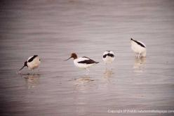 Red-necked Avocet