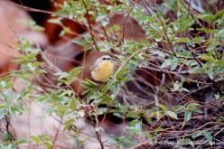 Gray-headed Honeyeater
