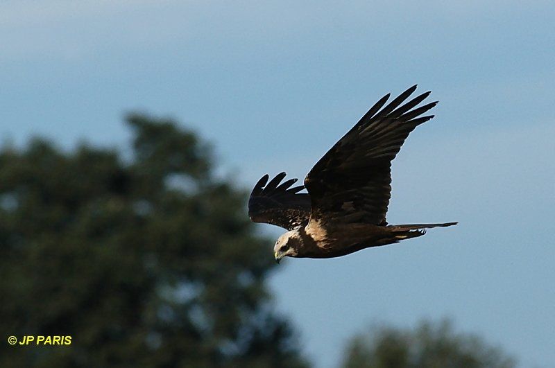 Eurasian Marsh-Harrier