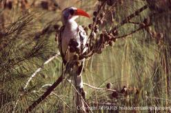 Northern Red-billed Hornbill