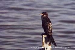 Long-tailed Cormorant