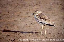 Senegal Thick-knee