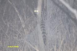 Large-spotted Genet