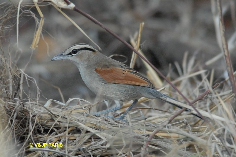 Brown-crowned Tchagra