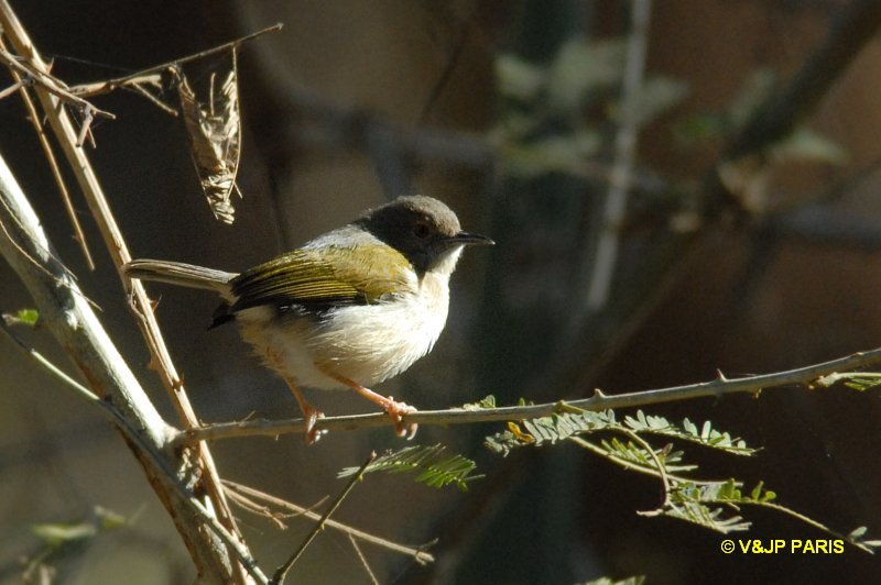 Green-backed Camaroptera (Gray-backed)