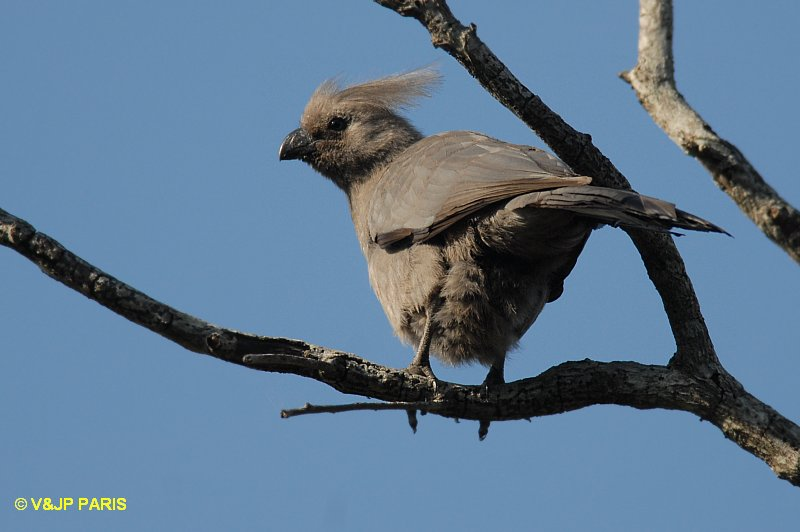 Gray Go-away-bird