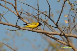 African Black-headed Oriole