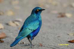 Greater Blue-eared Glossy-Starling