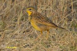 Yellow-throated Longclaw