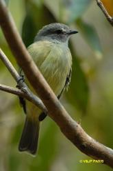 Yellow-crowned Tyrannulet