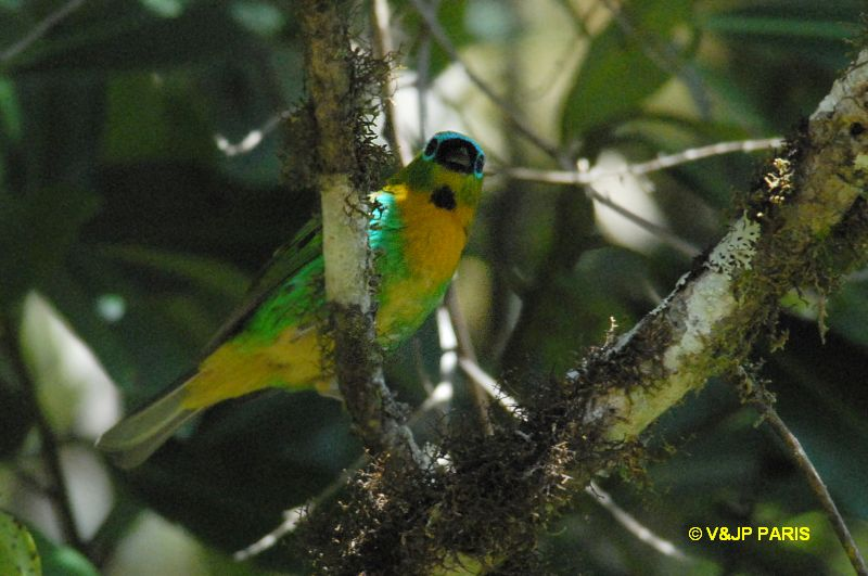 Brassy-breasted Tanager