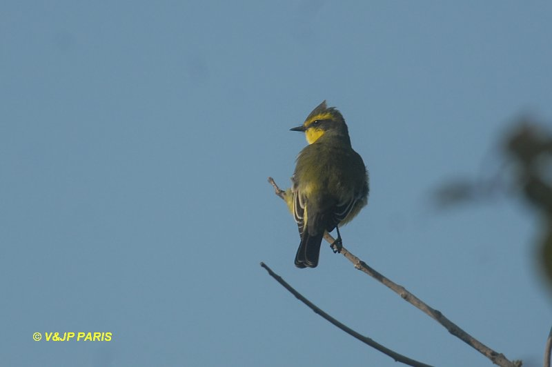Yellow-browed Tyrant