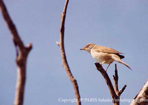 Greater Whitethroat