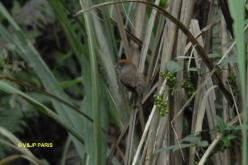 Ashy-throated Parrotbill
