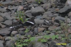 White-crowned Forktail