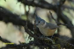 Gray-crested Tit