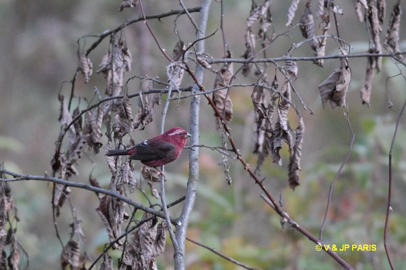 Vinaceous Rosefinch