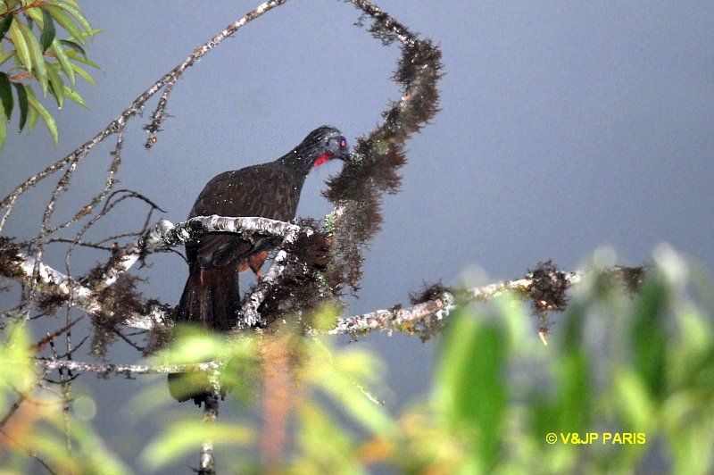 Andean Guan