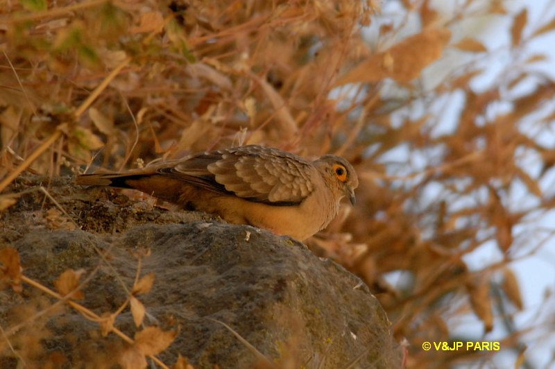 Bare-faced Ground-Dove