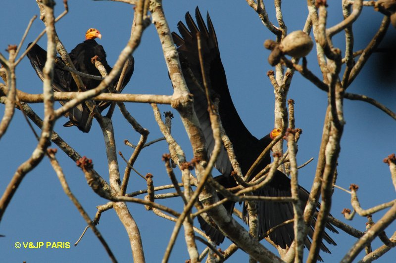 Greater Yellow-headed Vulture