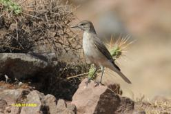 Black-billed Shrike-Tyrant