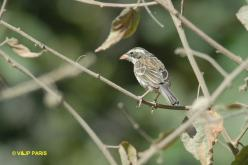 Collared Warbling-Finch