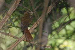 Dusky-cheeked Foliage-gleaner