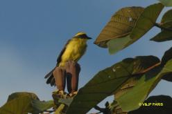 Lemon-browed Flycatcher