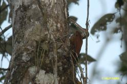 Long-billed Woodcreeper