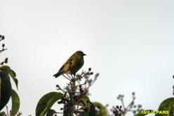 Olivaceous Siskin