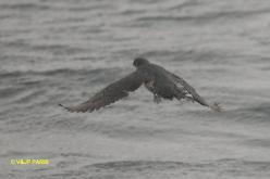 Peruvian Diving-Petrel
