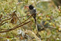 Peruvian Sheartail