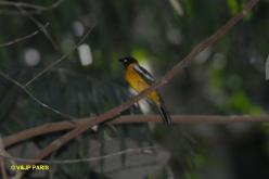 White-winged Shrike-Tanager