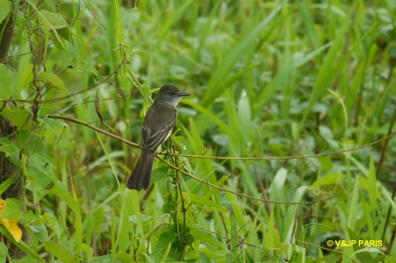 Short-crested Flycatcher