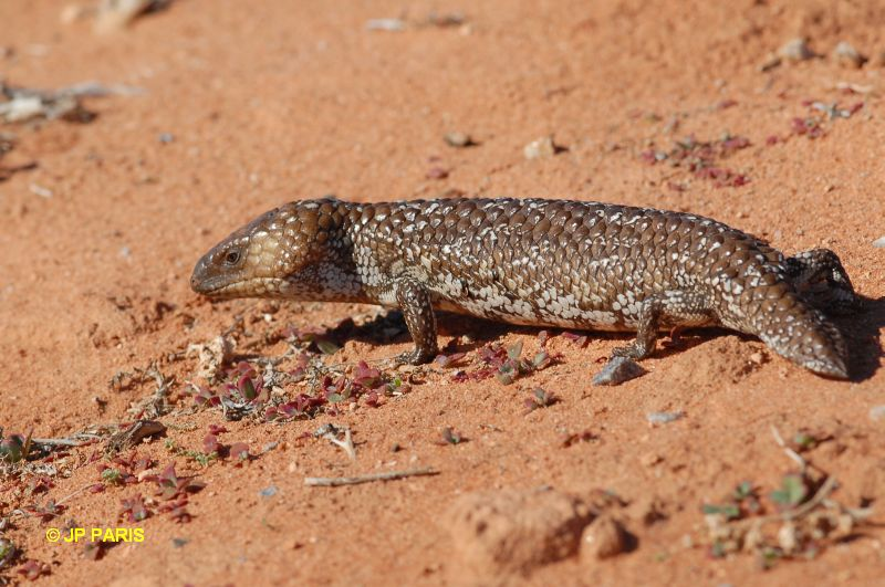 Shingleback / Pinecone Lizard