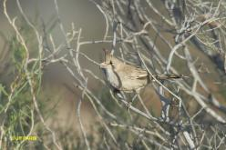 Chiming Wedgebill