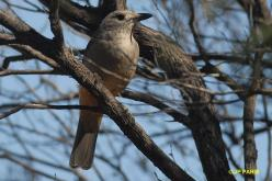 Gray Shrike-Thrush