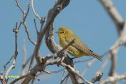 Australian Yellow White-eye