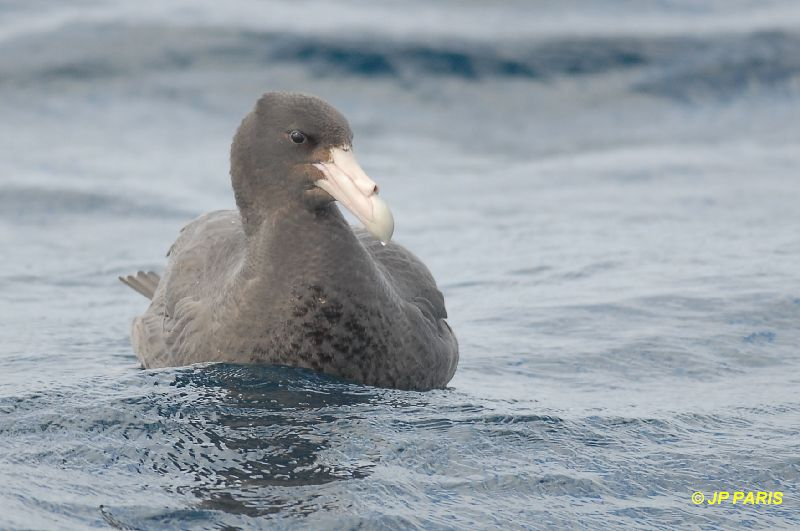 Southern Giant-Petrel